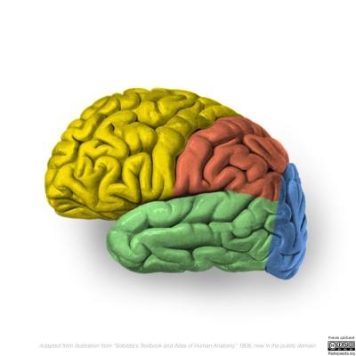lateral_cortex